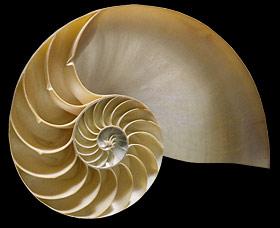 chambered-nautilus-shell-se40